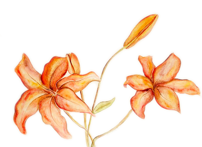 30x40 orange lilium